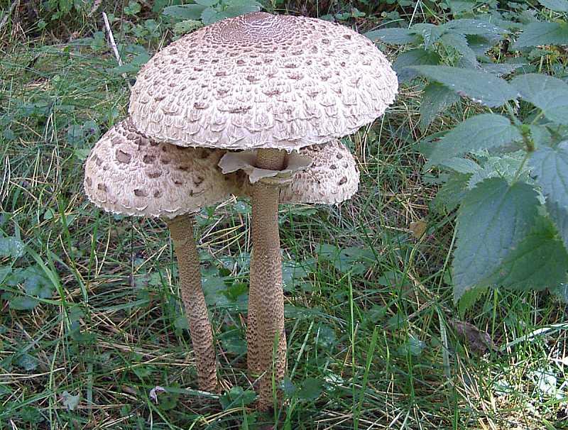 грибы самарской области фото с названиями